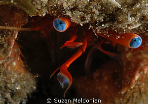 Hermit Crab close up. by Suzan Meldonian 